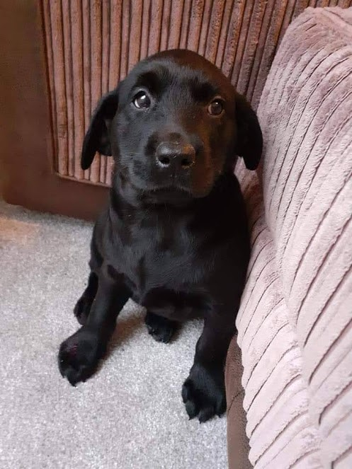 The pickles that puppies can get into:  Why Labrador puppies ought to stick to playing with toilet rolls and not sprinklers!